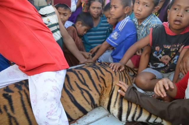 Harimau ditembak di Desa Silantom
