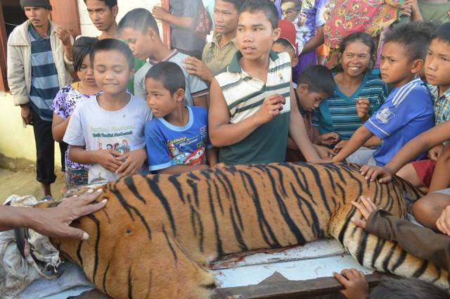 Harimau Sumatra di Desa Silantom